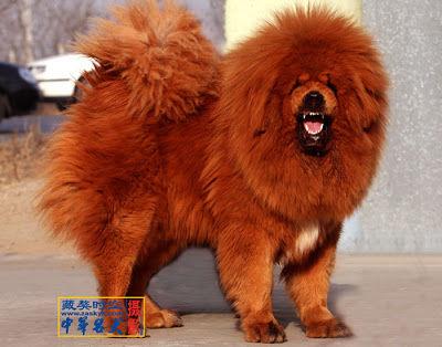 チベット犬003 (190)